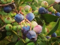 blueberries on vine
