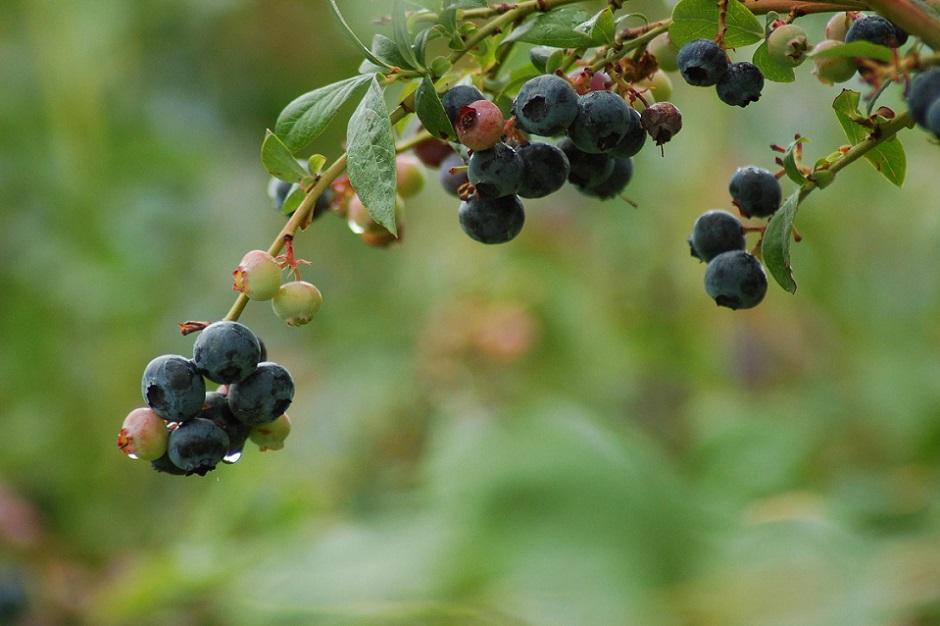 beautiful-blueberries