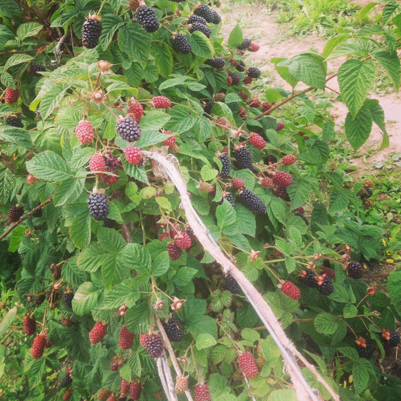 blackberries-in-field