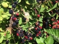 blackberries thornless